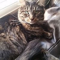 Domestic Longhair Cat for adoption in Dayton, Ohio - Gator