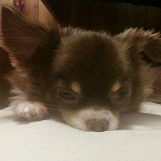 Chihuahua Dog for adoption in Bartlesville, Oklahoma - Babbitt