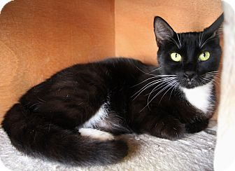 Domestic Shorthair Cat for adoption in Benbrook, Texas - Burburry