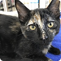 Adopt A Pet :: Sporty Spice - Tucson, AZ