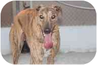 Greyhound Dog for adoption in St Petersburg, Florida - Rake