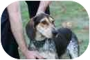 Bluetick Coonhound Dog for adoption in Jackson, Tennessee - Grace