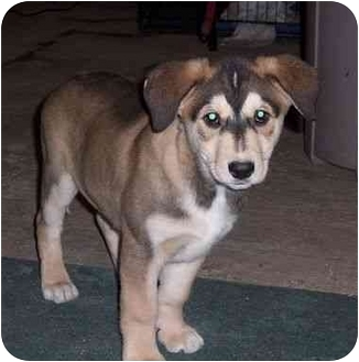 Alaskan Malamute/German Shepherd Dog Mix Puppy for adoption in Rochester/Buffalo, New York - Hunter