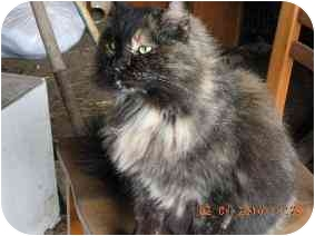 Domestic Longhair Cat for adoption in Lexington, Missouri - Wendy