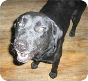 Labrador Retriever Mix Dog for adoption in Alcolu, South Carolina - Bella
