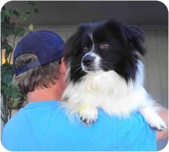 Spaniel (Unknown Type)/Pomeranian Mix Dog for adoption in Sacramento, California - Riley
