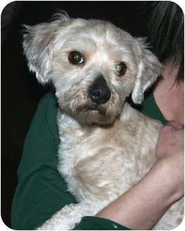 Shih Tzu/Maltese Mix Dog for adoption in Salamanca, New York - Whitey-ADOPTION PENDING