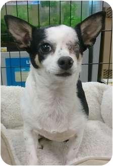 Chihuahua Mix Dog for adoption in Orlando, Florida - Lexus