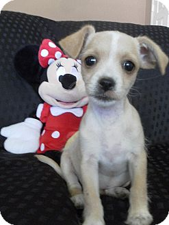Jack Russell Terrier/Terrier (Unknown Type, Small) Mix Puppy for adoption in Los Angeles, California - Dandelion