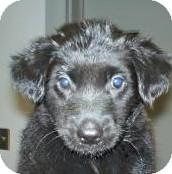 Labrador Retriever/Shepherd (Unknown Type) Mix Puppy for adoption in Lincolnton, North Carolina - Cricket