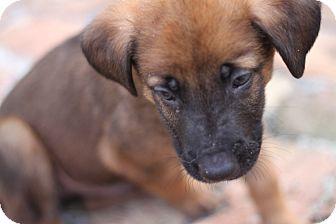 German Shepherd Dog Mix Puppy for adoption in Davie, Florida - Oscar