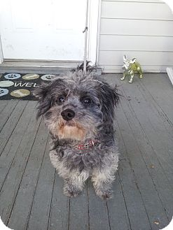 Poodle (Miniature) Mix Dog for adoption in Cumberland, Maryland - Deacon