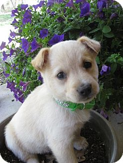 Labrador Retriever Mix Puppy for adoption in Stephenville, Texas - Buttercup