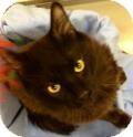Domestic Longhair Cat for adoption in Livonia, Michigan - Declan