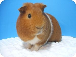 Guinea Pig for adoption in Aurora, Colorado - Milton