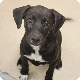 Labrador Retriever Mix Puppy for adoption in Naperville, Illinois - Hattie
