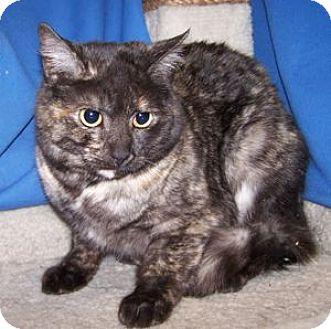 Domestic Shorthair Cat for adoption in Colorado Springs, Colorado - Chocolate Chip
