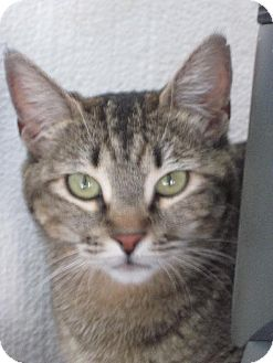 Domestic Shorthair Cat for adoption in Las Cruces, New Mexico - Siberia