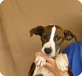 Australian Shepherd/Labrador Retriever Mix Puppy for adoption in Oviedo, Florida - Aries