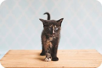Domestic Shorthair Kitten for adoption in THORNHILL, Ontario - Moon Pie