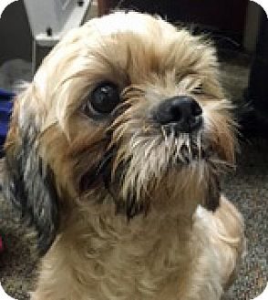 Shih Tzu Mix Dog for adoption in Houston, Texas - Earl