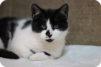 Domestic Shorthair Kitten for adoption in Midland, Michigan - Kyle