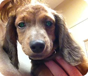 Dachshund Puppy for adoption in Fairview Heights, Illinois - Skipper