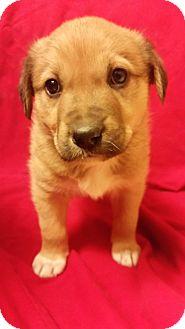 Australian Shepherd/Border Collie Mix Puppy for adoption in Excelsior SPRINGS, Missouri - Puppy 1Cinnamon
