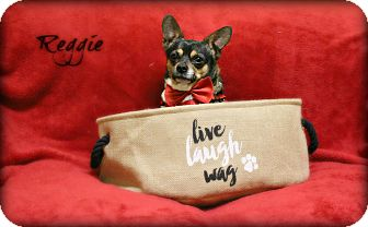 Chihuahua Mix Dog for adoption in Clarksville, Tennessee - Reggie