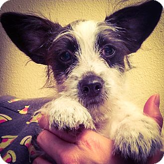 "Jack Russell Terrier/Wirehaired Fox Terrier Mix Puppy for adoption in Seattle, Washington - ""Madison"""
