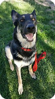 German Shepherd Dog Dog for adoption in Modesto, California - Celestra