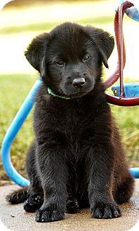 Labrador Retriever Mix Puppy for adoption in Colmar, Pennsylvania - Milo