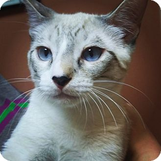 Colorpoint Shorthair Kitten for adoption in Scottsdale, Arizona - Teddy