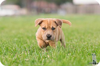 Labrador Retriever Mix Puppy for adoption in Fort Atkinson, Wisconsin - Nala