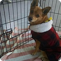 Adopt A Pet :: Bow Bow - Scottsdale, AZ