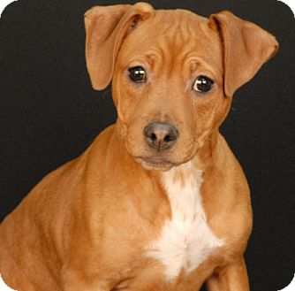 Beagle/Pit Bull Terrier Mix Puppy for adoption in Newland, North Carolina - Bailey