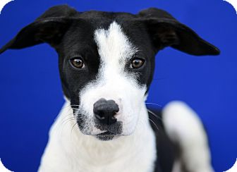 Terrier (Unknown Type, Small) Mix Puppy for adoption in LAFAYETTE, Louisiana - ISLA