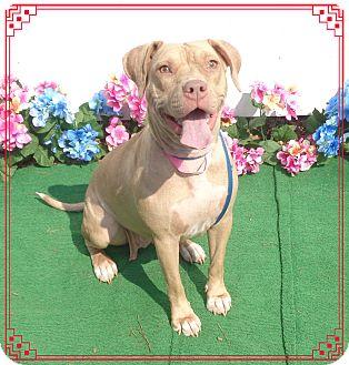 Labrador Retriever/American Bulldog Mix Dog for adoption in Marietta, Georgia - BELLA