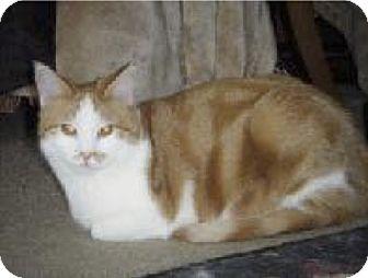 Domestic Shorthair Kitten for adoption in Colmar, Pennsylvania - Sallee - Adoption Pending!