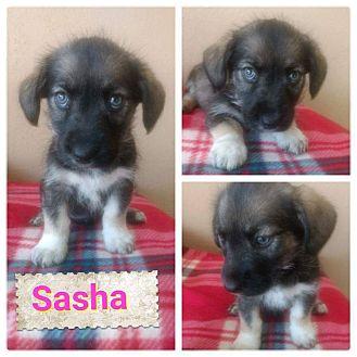 Maltese/Yorkie, Yorkshire Terrier Mix Puppy for adoption in LAKEWOOD, California - Sasha