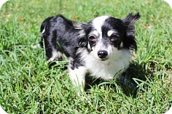 Chihuahua Mix Dog for adoption in Boca Raton, Florida - Cindy