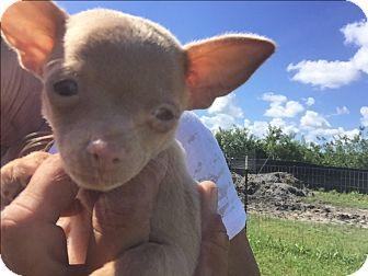 Miniature Pinscher Mix Puppy for adoption in Loxahatchee, Florida - Chyna