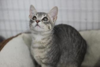 Domestic Shorthair/Domestic Shorthair Mix Cat for adoption in Covington, Louisiana - Rascal