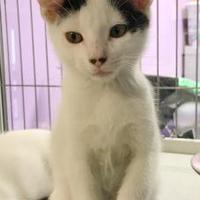 Domestic Shorthair/Domestic Shorthair Mix Cat for adoption in Baton Rouge, Louisiana - Toulouse