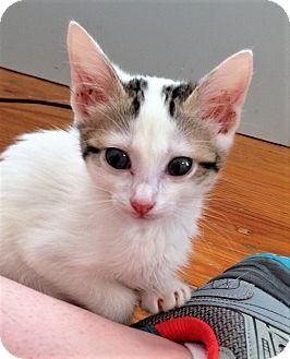 Domestic Shorthair Kitten for adoption in Huntsville, Alabama - Saturnus