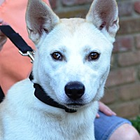 Adopt A Pet :: Lacey - White Plains, NY