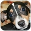 Photo 1 - Rat Terrier Puppy for adoption in House Springs, Missouri - Dixon