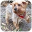 Photo 1 - Yorkie, Yorkshire Terrier Dog for adoption in West Palm Beach, Florida - Kris