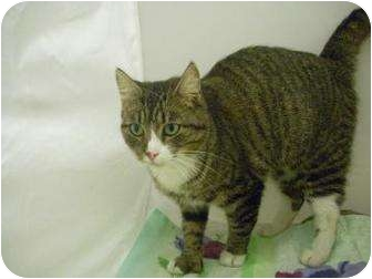Domestic Shorthair Cat for adoption in North Charleston, South Carolina - Maelee