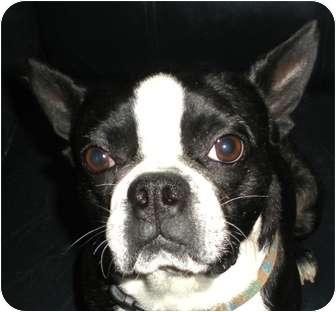 Boston Terrier Dog for adoption in North Augusta, South Carolina - BOSCO